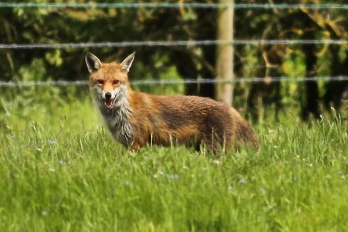Wassand Fox