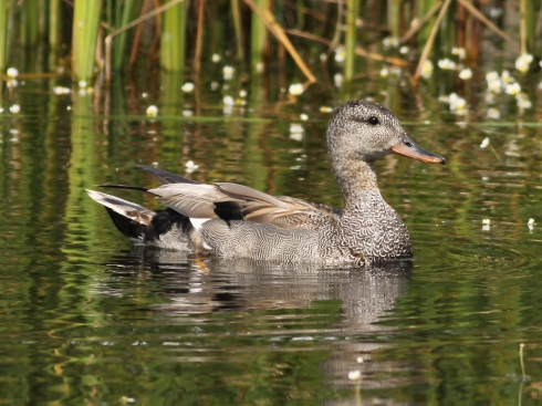 Gadwall from the hide