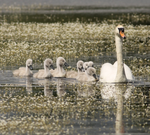 Decoy Bay Mute Swans - down from 10, these 8 currently avoiding the Mink