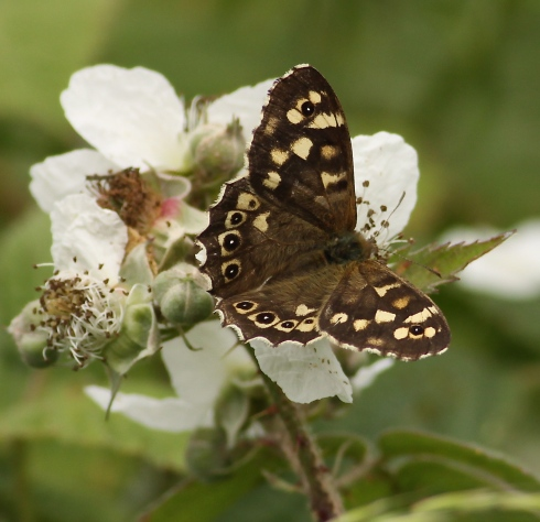 Speckled Wood 2nd field