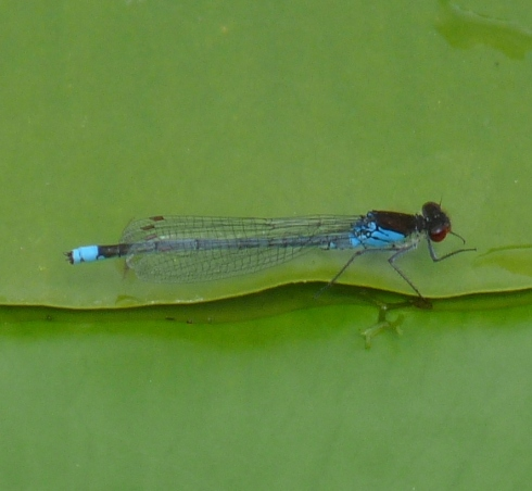 Red-eyed Damselfly - Ade Johnson