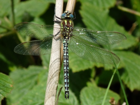 Hairy Dragonfly - Ade Johnson