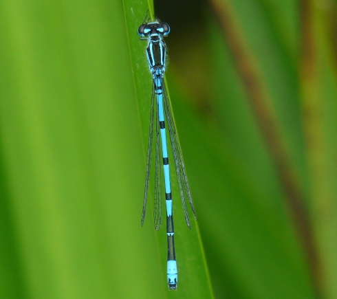 Azure Damsel at Aldbrough  - Ade Johnson