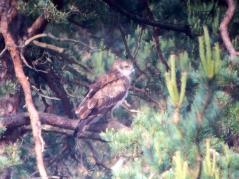 Short-toed Eagle - phonescoped