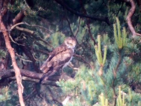 Short-toed Eagle - Morden Bog