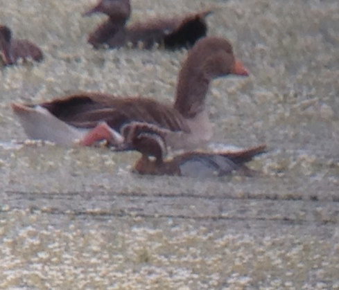 drk Garganey in the heat haze from hide