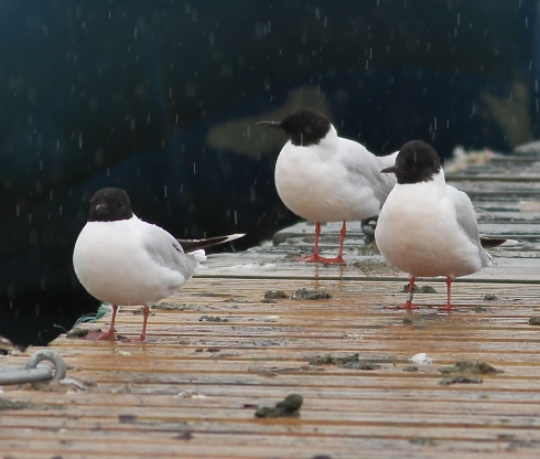 Little Gulls on Jetty with 1 ringed bird