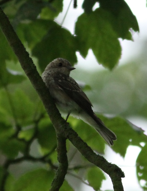 juv Spotted Flycatcher - 1 of 4 in Wassand