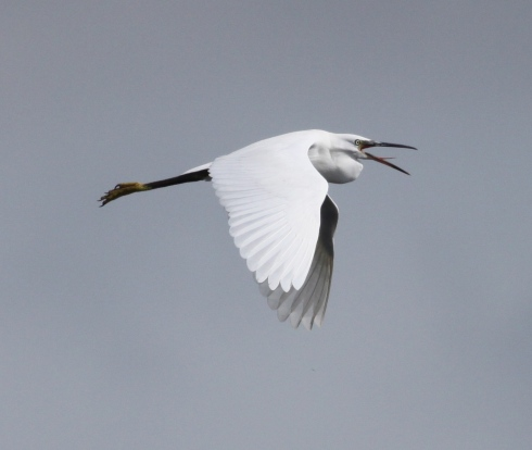 Little Egret east over the Mere