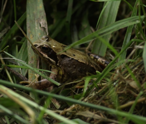 Common Frog in Wassand