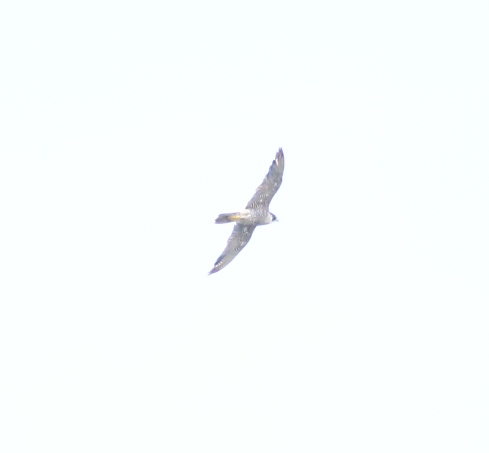 recordshot of Peregrine high east over 3rd field