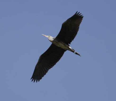 Grey Heron - dropping in from high over 1st field
