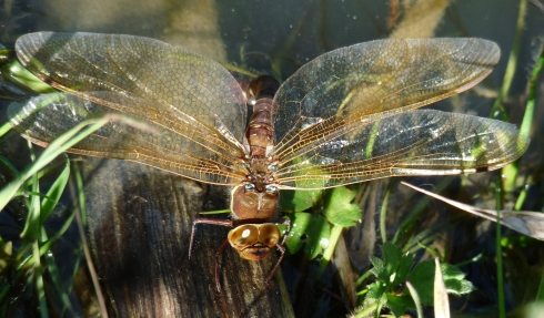 Brown Hawker - Ade Johnson