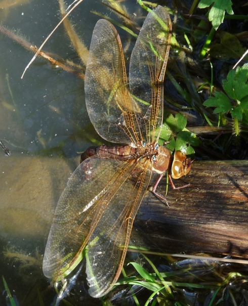 Brown Hawker ovipositing at Aldbrough - Ade Johnson