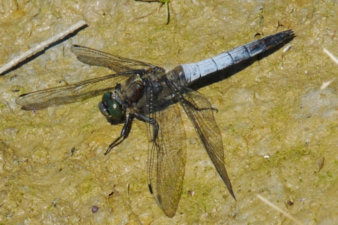 Black-tailed Skimmer, Grimston - Ade Johnson