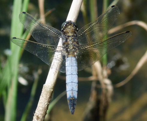 Black-tailed Skimmer - Ade Johnson