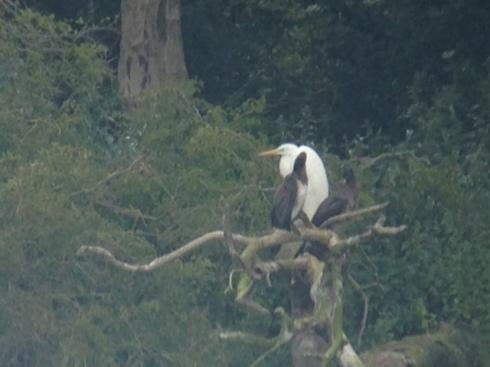 Great White Egret phonescoped at base of the Cormorant Tree's from 2nd field