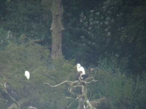 GW + Little Egret in Cormorant Tree's