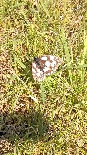 Marbled White - another Grimston 1st