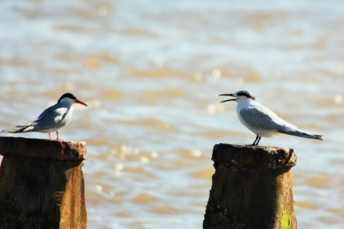 Common Tern and Sandwich Tern off Longbeaches Hornsea - Alan Elkin