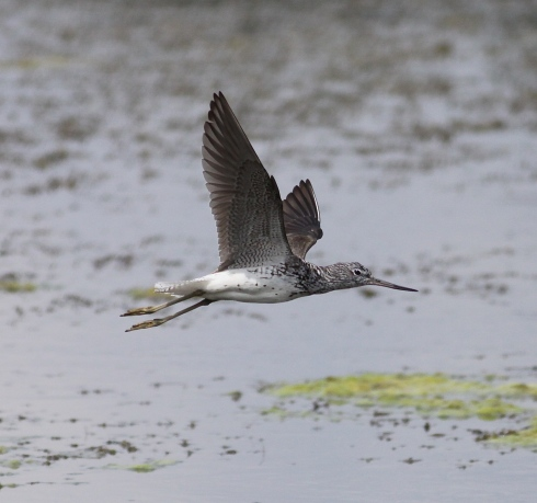 Greenshank from the Wassand/Decoy hide