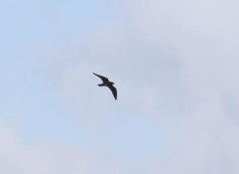 Peregrine over Swan Island