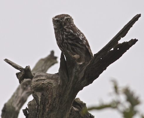 local Little Owl just west of Mere