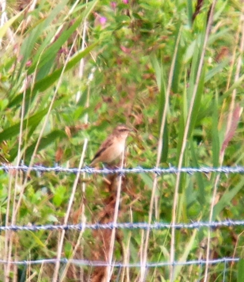 Whinchat in 1st field