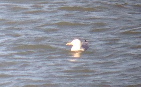 ad Caspian Gull phonescoped off Mappleton