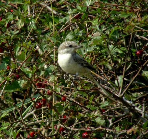 1w Masked Shrike - Ade Johnson