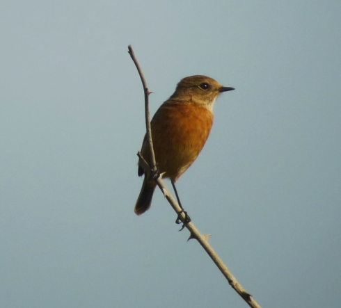 Stonechat at Tunstall, 1 of 2 - Ade Johnson