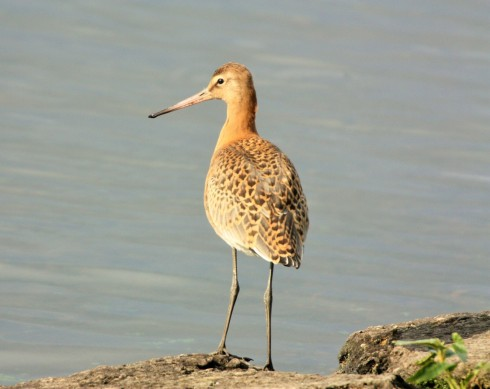 Black-tailed Godwit around KP - Alan Elkin