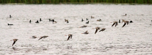11 Redshank thru Decoy, at least 30 where seen today around the Mere