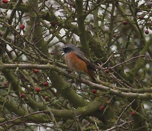 Redstart at Cowden