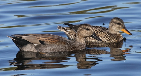 Gadwall from the Wassand hide