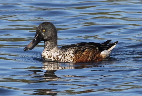 Shoveler from the Wassand hide