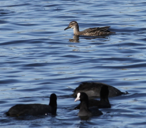 Garganey (2 birds) still present in Decoy