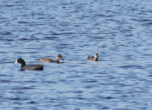recordshot of the 2 Garganey