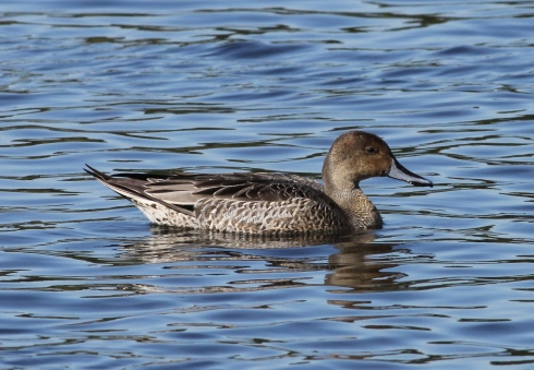 Pintail in Decoy