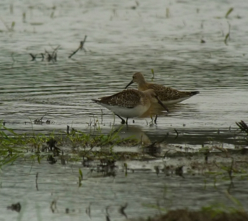 Curlew Sandpipers - Ade Johnson
