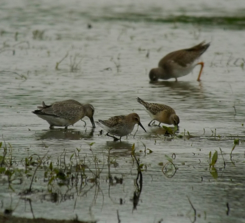 l-r Knot, Dunlin, Curlew Sand and Redshank - Ade Johnson