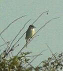 recordshot of the brief Cowden Red-backed Shrike