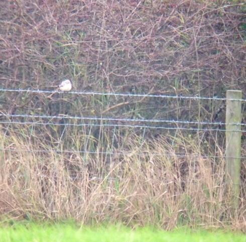 distant Masked Shrike at Barnsley-by-the-sea