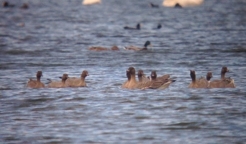 Pink-feet off Heslop's