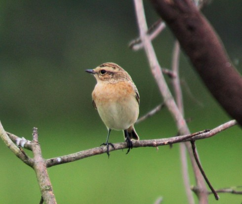 Whinchat around the Putting Green - Alan Elkin