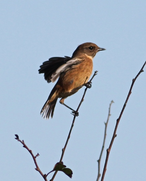 Stonechat at Cowden