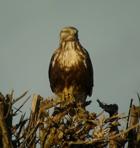 Rough-legged Buzzard - Ade Johnson