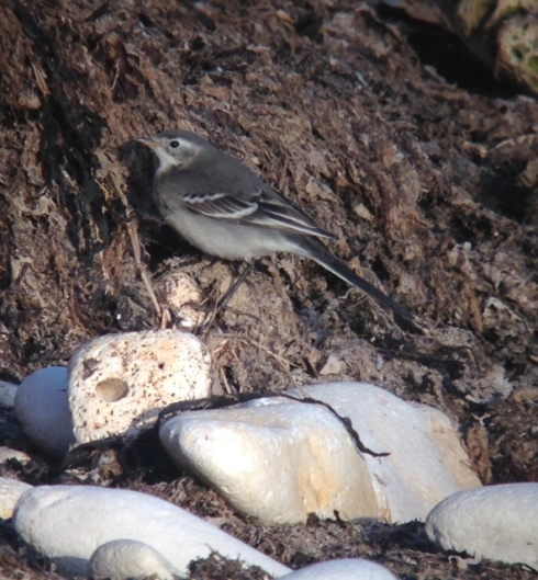 phonescoped 1w Citrine Wagtail