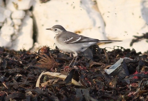 1w Citrine Wagtail - Rich Willison