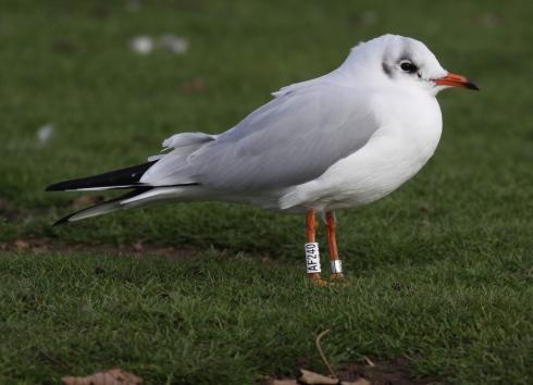 German rung Black-headed Gull on KP